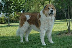 Самые красивые собаки — рейтинг самых красивых пород собак  Dog_04