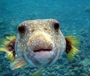 Рыба Puffer