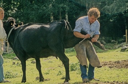 Коровий педикюрщик
